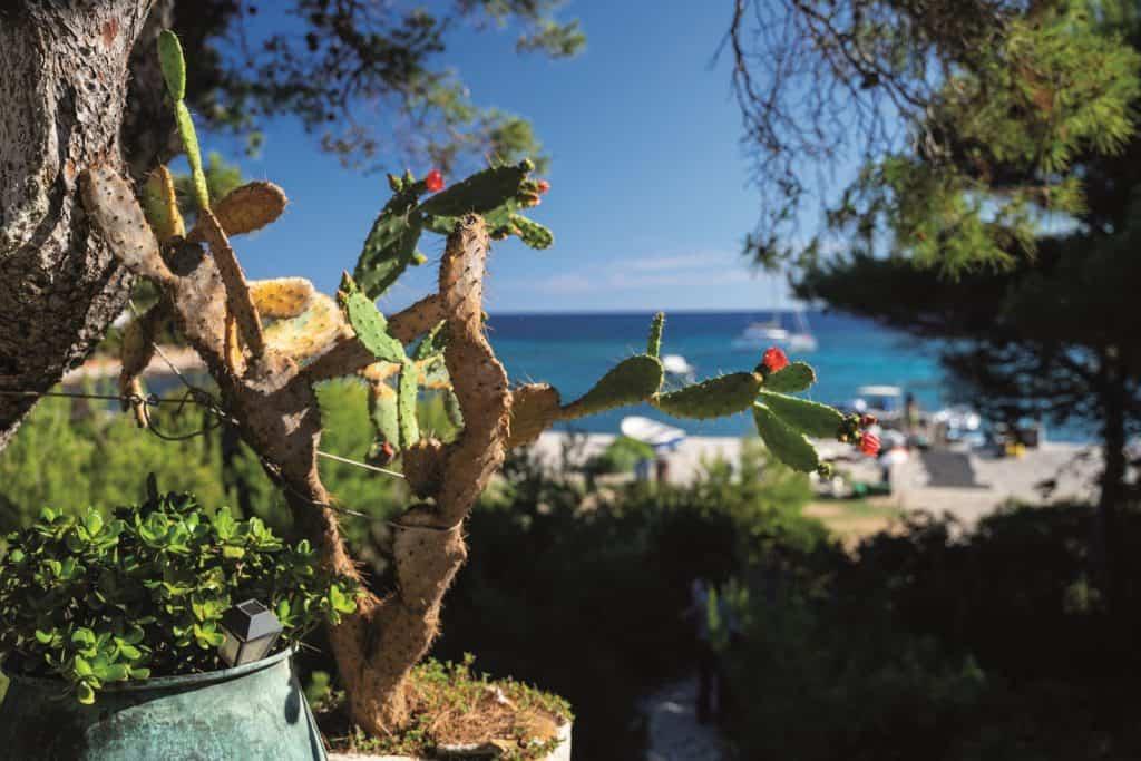 Kaktus na otoku u Jadranu