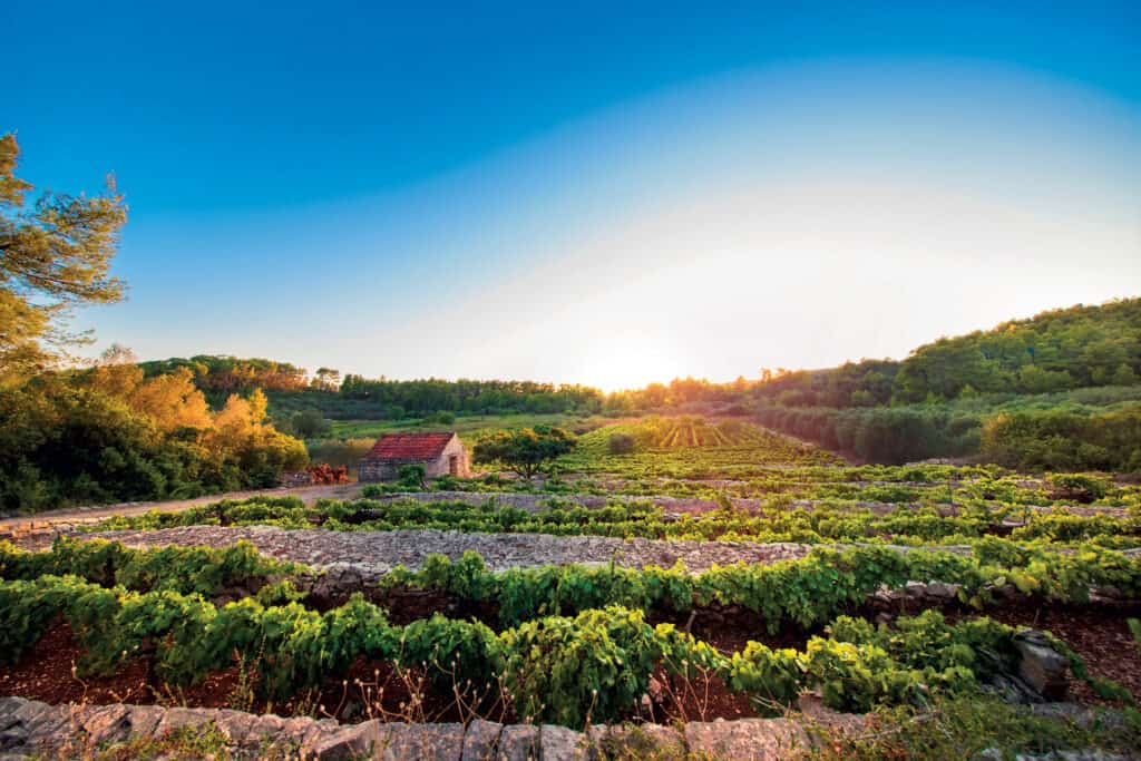This is picture of wineyard